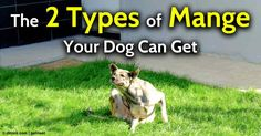 Mange, a skin condition in dogs caused by several species of mites, has two common types: demodectic mange and sarcoptic mange. http://healthypets.mercola.com/sites/healthypets/archive/2012/10/15/mange-in-dogs.aspx