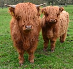 Highland Cows (also known as Daisy Coos)