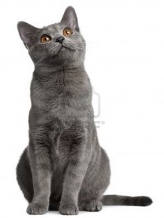 Chartreux kitten 5 months old
