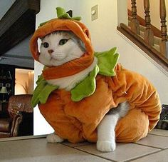 Halloween has now passed and all over the world cat owners are uploading their photos of their cats dressed as pumpkins. Pet Halloween Costumes, Pet Costumes, Halloween Cat, Happy Halloween, Cat Dressed Up, World Cat, Cat Pose, Cat Pumpkin, Cat Dresses