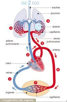 L'appareil respiratoire | Le Corps Humain Medical Art, Medical Humor, Medical School, Learning Time, Science Biology, Human Anatomy, French Language, Physiology, Study Tips
