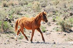 Yearlings seem to get long winter coats to protect them during their first winter. #NevadaWilds wild horses