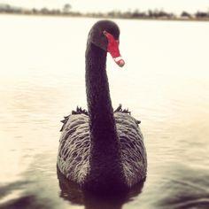 Beautiful Black Swan in Ballarat