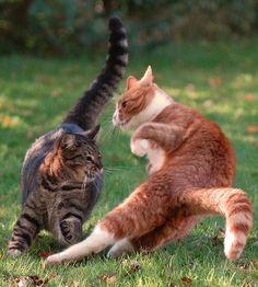 猫のけんかが必死すぎて笑いを誘う!リアル・キャットファイト決定版 - 写真 - 気になる - フォト特集 - クランクイン!