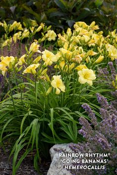 Proven Winners - Rainbow Rhythm® 'Going Bananas' - Daylily - Hemerocallis hybrid yellow plant details, information and resources. Plants Sunny, Yellow Plants, Yellow Flowers, Reblooming Daylilies, Front Yard Plants, Mulch Landscaping, Landscaping Ideas, Proven Winners, Tall Plants