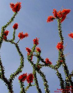 ocotillo-my favorite cactus