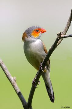 The Orange-cheeked Waxbill (Estrilda melpoda) is a common species of estrildid finch native to western and central Africa, with an estimated global extent of occurrence of 3,600,000 km².