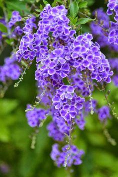 Purple Duranta   The Ultimate Photos