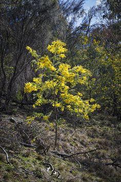 Title  Wattle Tree - Canberra - Australia   Artist  Steven Ralser   Medium  Photograph - Photography