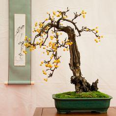 Malus zumi - crabapple, Golden Hornet   I love the color of the fruit