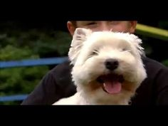Dogs 101  :  West Highland  Terrier