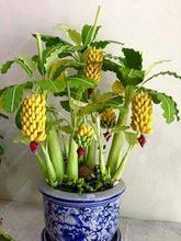 100pcs/bag Potted banana seeds bonsai Organic fruit seeds Healthy and nutritious food fruits dwarf banana plant for home garden(China (Mainland))
