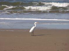 YellowBilled Egret at Leisure Bay KwaZuluNatal South Coast, South Africa