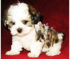 maltipoo puppies for sale in texas Cute Baby Animals