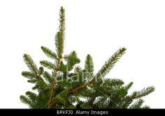 Royalty free stock photography from Alamy:  Branches of fir tree isolated on white background.
