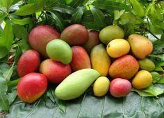 mango diversity in Haiti