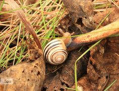 Snail, Small mollusk with a spiral shell.  Photo taken at Burloak Waterfront Park  Burlington, Lake Ontario Canada.