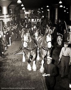 This is a shot of the Budweiser Clydes probably from the 1940s. - International Museum of the Horse