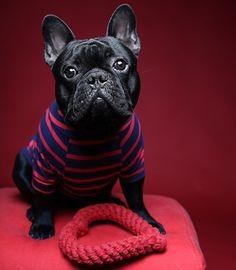 Auggie & Teddy (@auggieandteddy) • Photos et vidéos Instagram French Bulldog Costume, Bulldog French, Corgi Dachshund, Beagles, Terrier Mix, Little Man, French Style, Pugs, Boston Terrier