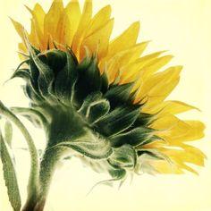 Sun Flower  Fine Art Flower Photograph  brighten by janeheller, $30.00
