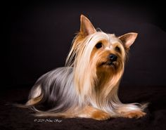 Australian Silky Terrier Puppy Dog Pet Dogs, Dogs And Puppies, Pets, Terrier Dogs, Terriers, Baby Joey, Silky Terrier, Rainbow Bridge, Yorkies