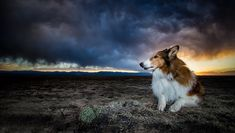 Noise Anxiety In Dogs: Symptoms, Causes, & 5 Ways To Treat It - Dogtime Dog Anxiety, Rough Collie, Dog Behavior, Beautiful Dogs, 5 Ways, Dog Training, Dog Breeds, Dogs And Puppies, Corgi