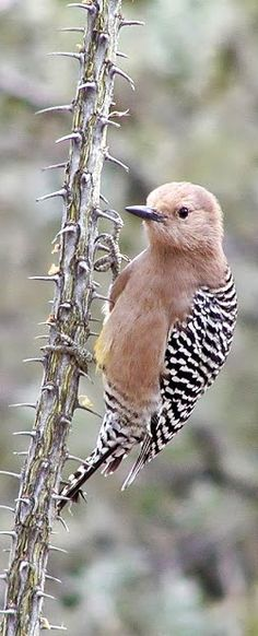 A conspicuous resident in the deserts of the Southwest and Mexico, the Gila woodpecker (Melanerpes uropygialis) is a characteristic bird of the saguaro cactus forests.