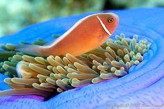 clown fish 3335 by DiverKen