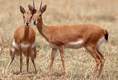 Oribi antelope.  An endangered species associated with grassland.  They are found in pairs, or small groups.  A small antelope weighing 12-22kg and standing 50-66cm high at the shoulder. October is the best time for sightings.