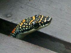 The paridise tree snake