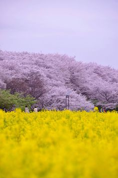 Spring in Satte, Saitama, Japan | Toru Kawakita 権現堂桜堤