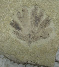 A 49-million-year-old Ginkgo dissecta fossil from the Klondike Mountain Formation in Washington state.   KEVMIN