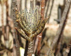 Kalanchoe Tubiflora - somanatureza.com.br