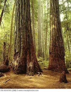 Port Alberni,British Columbia --Cathedrial Grove also called McMillian Park. Located on the Highway between Port Alberni and Cameron Lake BC Vancouver City, Vancouver Island, Picture Tree, Hitchhikers Guide, Visit Canada, Firs, Douglas Fir, Best Places To Travel, Canada Travel