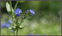 Common Bugloss, Alkanet; Scientific name: Anchusa officinalis; Family: Boraginaceae; Genus: Anchusa. Plant type: Biennials, Perennials; Height: 12-36 in (30-90 cm); Flower colors: Dark Blue, Purple; Flowering time: Late Spring to Early Fall.