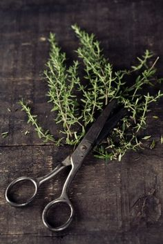 Thyme can basically be harvested all year round so no kitchen garden has an excuse to be without some. If your plant is under a year old, remembering that winter time slows the growth down, don't harvest vigorously or your plant may not recover sufficiently to survive.