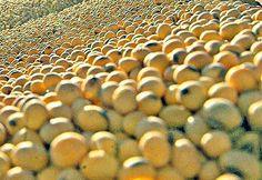 Pregon Agropecuario :: SOJA: VORACIDAD CHINA, DESAFÍO PRODUCTIVO SUDAMERICANO - Oleaginosas - Soja
