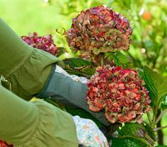 taille hortensia