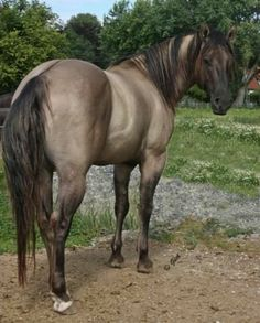 "Hengste - Blackburn Buck Poco QH - Hengste – Blackburn Buck Poco QH "" Hengste – Blackburn Buck Poco QH The Effective Pictures We - Horses And Dogs, Cute Horses, Horse Love, Horse Girl, Wild Horses, Black Horses, Quarter Horses, American Quarter Horse, Dun Horse"
