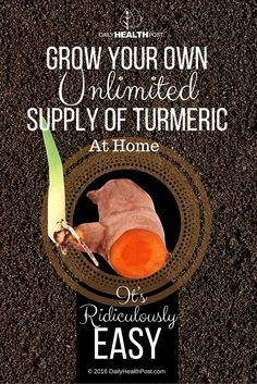 How to Grow Your Own Unlimited Supply of Turmeric At Home. It's Ridiculously Easy! via @dailyhealthpost | http://dailyhealthpost.com/how-to-grow-turmeric-indoors-it-is-far-better-than-buying-it/