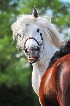 Gray horse attitude Paulina Rdzanek, Poland