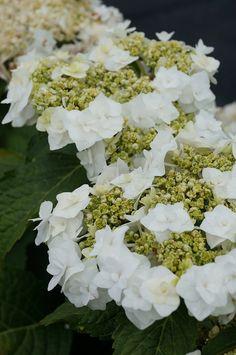 ~Hydrangea macrophylla 'Wedding Gown'