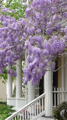 porch dripping with magnificent wisteria blooms