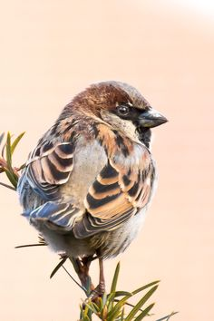 Up Close w/ a House Sparrow by Kyle Kephart on - Vogel Pretty Birds, Love Birds, Beautiful Birds, Animals Beautiful, House Sparrow, Sparrow Bird, Tropical Birds, Colorful Birds, Small Birds