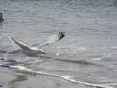 NY Gull, Sea, York, Ocean