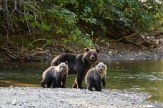 bears~ My Dad said there were three bears drinking out of the pond at our house in Stuart. People can't keep birdfeeders either.
