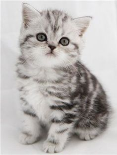Silver tabby British kitty