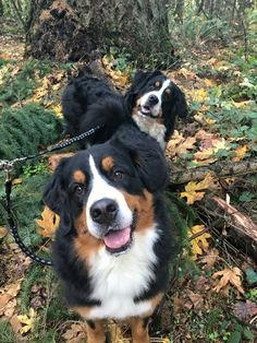 New Free of Charge bernese mountain dogs cute Strategies For upwards of many years, your Bernese Pile Pet has become a essence with park existence inside Switze Big Dogs, I Love Dogs, Cute Dogs, Dogs And Puppies, Puppies Gif, Doggies, Burmese Mountain Dogs, Swiss Mountain Dogs, Dog Anatomy