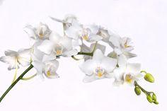 witte orchidee - Google zoeken