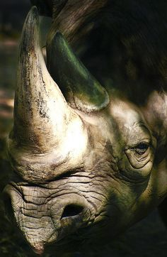 old rhino up close by alan shapiro photography